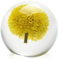 Floraculture Paperweight - Yellow Pom Pom